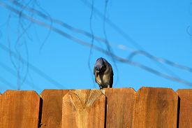 pic of stockade  - A Blue jay is perched on the top of a stockade fence against a blur sky and is looking down - JPG