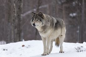 pic of timber  - A lone timber wolf in a winter scene - JPG
