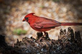 picture of cardinal-bird  - Male Cardinal bird eating sunflower seeds outdoors  - JPG
