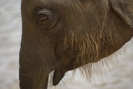 foto of indian elephant  - Closeup of a hairy indian baby elephant