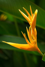image of heliconia  - Heliconia psittacorum also known as yellow tropical flower - JPG