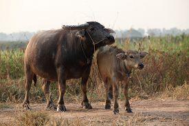 picture of female buffalo  - close  - JPG