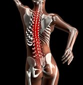3D render of a female skeleton with spinal cord highlighted