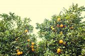 Grove of orange trees. Fresh, ripe, golden oranges still growing on trees. Healthy citrus ready to e poster