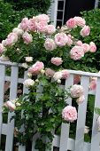 image of climbing rose  - Blooming pale pink roses climbing up a white fence - JPG