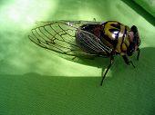 Cicada Study