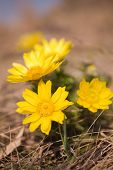 stock photo of adonis  - Close up of many plants of Adonis vernalis in spring - JPG