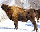 picture of aurochs  - Big wild bisons in the winter forest - JPG