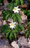 pic of windflowers  - Anemone (windflower) in forest. Spring flower blooming