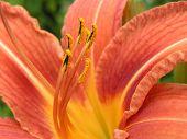 Close-Up Orange Daylily