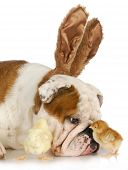 bulldog bunny with two young chicks on white background