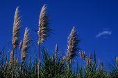 Reeds and Blue Sky