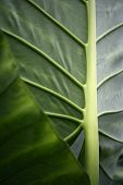 Nature's veins : Strong lines and veins from behind a yam leaf