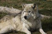 Gray Wolf 9