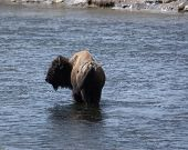 Buffalo In The Water