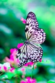 ''Idea leuconoe '' or commonly known as Paper Kite butterfly enjoying nectar from a brightly colored flower poster