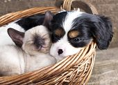 stock photo of puppy kitten  - spanie puppy and kitten - JPG