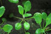 transgenic plant of Arabidopsis. Laboratory test for modification