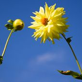 close up photo of dahlia flower on the sky background