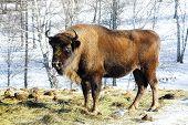 image of aurochs  - Big wild bison in the winter forest - JPG