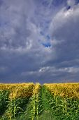 A corn field and the cloudy sky