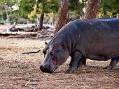 stock photo of sub-saharan  - hippopotamus  - JPG