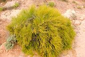 bush desierto