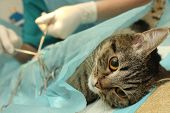 image of castration  - surgical castration of cat in banian hospital - JPG