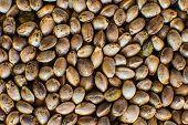 Hemp Seeds Background In Macro. Macro Detail Of Marijuana Seed. Many Cannabis Seeds. Organic Hemp Se poster