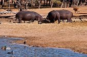 pic of sub-saharan  - hippopotamus  - JPG