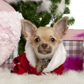 Chihuahua Welpe, 5 Monate alt, mit Weihnachtsgeschenke in front of white background
