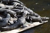 Alligators sunbathing