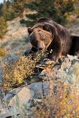 North American Grizzly Bear