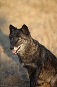 foto of north american gray wolf  - Black Colored Adult Male North American Gray Wolf in Montana - JPG