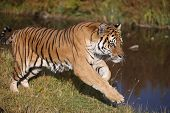 Siberian Tiger in Clear Cold Mountain Stream