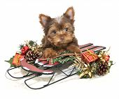 stock photo of yorkie  - Cute chocolate Yorkie puppy laying on a Christmas sled with Christmas decor - JPG
