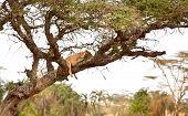 Leones Trepadores de árboles escalada