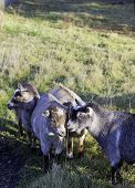 picture of pygmy goat  - Several pygmy goats grouped together in a grassy field - JPG