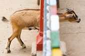 image of pygmy goat  - Brown goat looking through a colorful fence - JPG