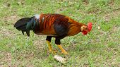 Colorful Rooster Standing