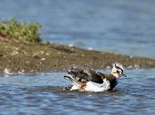 Lapwing Taking A Bath In A Lake