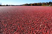 Cranberries In Flooded Cranberry Bog In New Jersey