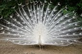 stock photo of mating animal  - White peacock with feathers out showing tail - JPG