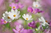 stock photo of cosmos flowers  - Beautiful flowers cosmos on softly blurred background