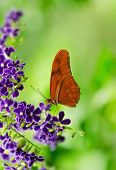 Orange Longwing (Dryas iulia) butterfly