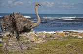 stock photo of ostrich plumage  - The Ostrich is large flightless birds native to Africa - JPG
