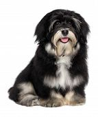 Beautiful Smiling Happy Havanese Puppy Dog