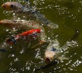 Koi Carps In Pond With Glitter