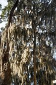Spanish Moss In Shade Trees