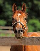 Pure arabian stallion portrait in summer farm